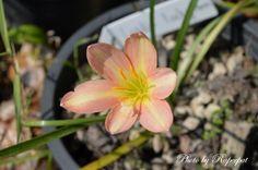 Zephyranthes Lydia Luckyman