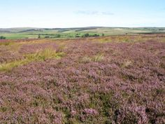 Heather on an English moor (in the Dales).  Get more free enrichment and homework resources for The Secret Garden by Frances Hodgson Burnett at www.LitWitsWorkshops.com.  We also offer downloadable sensory enrichment guides!