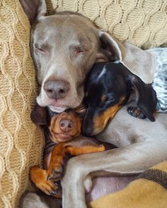 Even other dogs like to cuddle doxies Weenie Dogs, Dachshund Puppies, Dachshund Love, Cute Puppies, Cute Dogs, Dogs And Puppies, Dachshunds, Doggies, Daschund