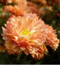 Chrysanthemum indicum Herbstbrokat