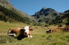 Mucche in Val Moena