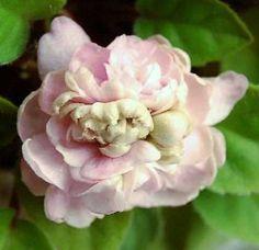 Pink Mint African Violet