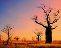 Photographic Print: Boab Trees (Adansonia Gregorii) against a Sunset Sky at Derby in the Kimberley, Western Australia by Peter Walton Photography : 24