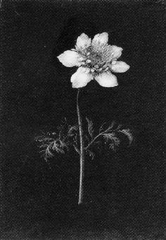 White Aesthetic, Aesthetic Art, Aesthetic Pictures, Des Fleurs Pour Algernon, Art Ancien, Arte Obscura, Dark Paradise, New Wall, Clematis