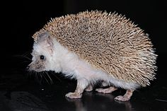 different kinds of hedgehogs - Google Search