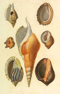 Seashells Drawn