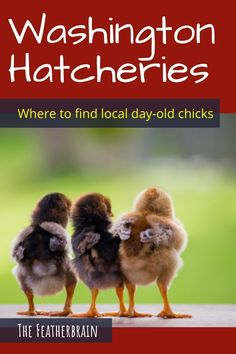 Find chicken hatcheries near you in the state of Washington,  and learn which breeds they carry. Whether you want rare, friendly heritage breeds, the best egg layers, or beautiful giant breeds, you'll learn where to find them here. Types Of Chickens, Raising Chickens, Baxter Barn, Meadows Farms, Day Old Chicks, Oak Meadow, Chicken Breeds, Backyard Chickens, Chicken Eggs