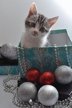 Purr-fect Christmas. Photograph  - Purr-fect Christmas. \/\/ Love this but I don't se this happening with mine guess I should take a photo without the box and ornaments and then Photoshop him in LOL