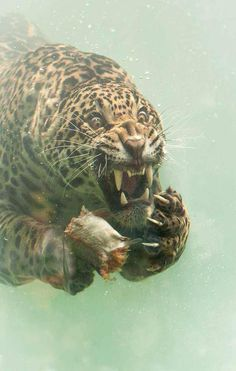 Photographer captures incredibly rare moment jaguar dives to catch food. This is an amazing moment showing the ferocity of jaguar.what an expression! Animals And Pets, Baby Animals, Funny Animals, Cute Animals, Animals Photos, Big Cats, Cats And Kittens, Cute Cats, Cats Meowing