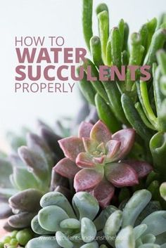How to Water Succulent Plants Hve you ever wondered how much to water succulents? This post will teach you how to properly water succulents to keep them looking great! to Water Succulent Plants Hve you ever wondered how much to water succulents? This post How To Water Succulents, Growing Succulents, Cacti And Succulents, Planting Succulents, Planting Flowers, Watering Succulents, Caring For Succulents Indoor, How To Propagate Succulents, Cactus Plants