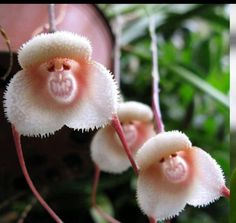 Monkey Face Orchid.