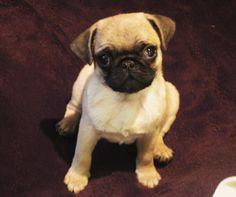 my pug Percy <3