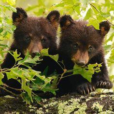 Grizzly Bear Cub, Bear Cubs, Nature Animals, Animals And Pets, Black Bear Cub, Bear Photos, Love Bear, Cute Baby Animals, Animal Kingdom