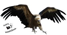 Cut-out stock PNG 12 - wings of the vulture by Momotte2stocks