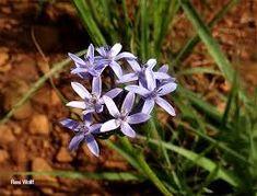 Pentanisia angustifolia - Google Search Wild Flowers, Google Search, Plants, Wildflowers, Plant, Planets