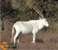 white gemsbuck