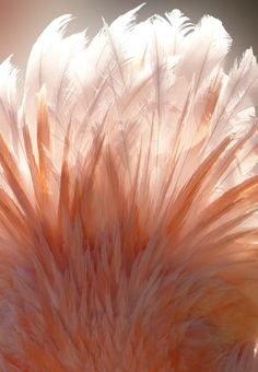 coral.quenalbertini: Peach feathers