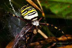 """Macro da """"Aranha de Jardim"""" alguem sabe se a mesma é venenosa ou não?"""