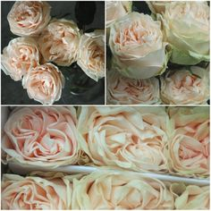 Wedding Spirit, new peach garden rose