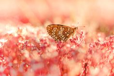 Pink dreams - litle buterfly over pink smal flowers