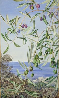 Study of Olives, painted in Italy. Marianne North - Kew Royal Botanic Garden