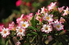 Desert Rose [ Adenium Obesum ]  I love these!  I had them in pots on my porch in a bright pink.  They grew so lovely and strong, but didn't survive a particularly nasty cold snap.  So sad.  I loved them.  Haven't seen them around to purchase lately.