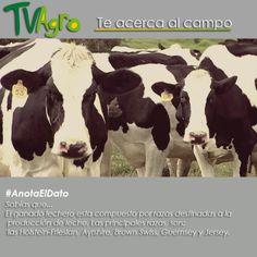 #AnotaElDato Antioquia es un municipio lechero por excelencia, y estas son las razas más indicadas para la producción lechera.