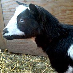 Nigerian Dwarf Dairy Goat - Keeping Homestead Dairy Goats