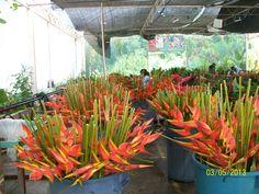 Nave de flores tropicales de rio Cuilco en argovia finca resort en Tapachula Chiapas, Mexico