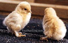 Cochin baby chicks...
