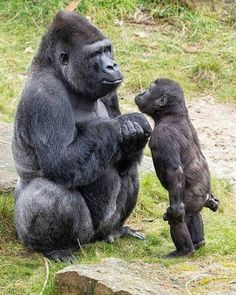 Mommy why can't i go? You're not old enough but everybody else is going - Tier - tierbabys Primates, Mammals, Nature Animals, Animals And Pets, Strange Animals, Wildlife Nature, Wild Animals, Beautiful Creatures, Animals Beautiful