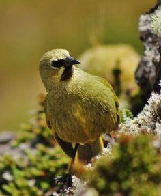 Gough finch or Gough bunting (Rowettia goughensis) is a songbird species.