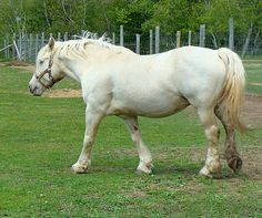 American Cream Draft Horse. This pale color called gold champagne is a criterion for this breed. But with an inbred, critical population, horses with other shades produced by the champagne gene, as well as partbreds, can be used as breeding stock. photo: barbara fralick.
