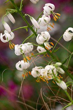 Lilium martagon var. album (IXc/d) AGM / RHS Gardening (side garden)