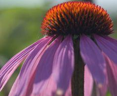 Echinacea purpurea - Cone Flower - Nancy Christensen Macro Photography, Custom Framing, Online Printing, Framed Prints, Wall Art, Garden, Artwork, Flowers, Plants