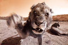 Aaron Chang's Best Work - Wild Lion in Africa Ocean Photography, Wildlife Photography, Animal Photography, Fine Art Photography, Amazing Photography, Lions South Africa, Lion Africa, Wild Lion, Cat Species