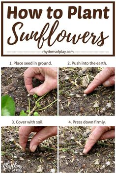 Growing sunflowers and learning how to plant sunflower seeds outdoors is an easy beginning gardening project for kids and adults of all ages. Grow them in a circle to make a sunflower house, an outdoor playhouse or fort, for even more outdoor playtime fun! #Sunflowers #GardeningWithKids #KidsGarden #SunflowerHouse #GardeningForKids