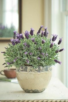 How To Care For Potted Lavender - Plant Pot - Ideas of Plant Pot - french lavender in rustic pots lining the aisle Herb Garden, Indoor Garden, Garden Plants, House Plants, Terrace Garden, Outdoor Potted Plants, Flowering Plants, Plants In Pots, Tall Indoor Plants