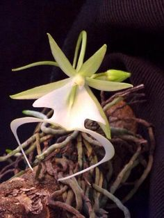 """Florida's Corkscrew Swamp and Ghost Orchid  ....do you remember """"The Orchid Thief?"""""""