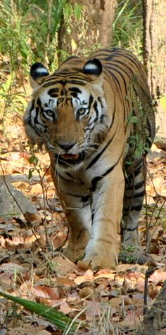 Munna – The dominant male at Kanha can be easily recognized by the unique stripe pattern on his forehead reading CAT, so next time you are there look out for the CAT sign.