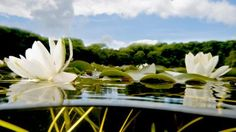 underwater lily pond cross section - Google Search