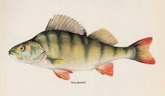 Vintage FISH Print Perch Fish Art Fishing Collectible Cabin & Lodge Decor #1575