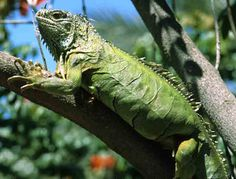 The importance of proper nutrition for your iguana