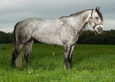 Silverado Guy | Select Stallion Stakes Daddy's Angel, Quarter Horses, Guys, Pictures, Photos, American Quarter Horses, Sons, Grimm, Boys