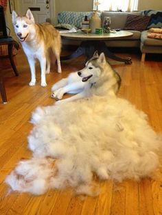 Here's a warning to anyone thinking about getting a husky. :)