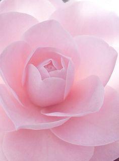 Camellia-  Color Rosa Pastel - Pale Pink!!!