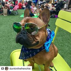 This is Dunkin. He's not wasting a minute of his summer.  Photo: @dunkinthefrenchie  french bulldog / frenchie