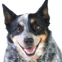 The History of the Cattle Dog from American Cowboy magazine