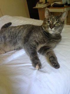 HONEY has been adopted in #Montreal #petrescue ~ Honey is a very friendly dilute tortoiseshell. She was found as an emaciated, pregnant stray cat in DDO. She has now been spayed and is up to date on her vaccines and deworming. Foster mom Lucy says that Honey is very sweet and affectionate -- a lap cat! <3 www.facebook.com/cause4paws