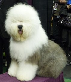 Swagger, a Old English Sheepdog, at last night's Westminster Kennel Club dog show at Madison Square Garden in New York. The champion is one of seven to compete in best in show tonight. Unique Dog Breeds, Small Dog Breeds, Up Dog, Dog Cat, Westminster Dog Show, American Foxhound, Purebred Dogs, Old English Sheepdog, The Fox And The Hound